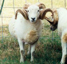 Breeds of Livestock - Wiltshire Horn Sheep — Breeds of Livestock, Department of Animal Science Sheep Breeds, Sheep Dogs, Raising Farm Animals, Baa Baa Black Sheep, Animal Science, Hobby Farms, Livestock, Cattle, Animal Kingdom