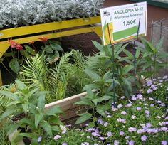 The LalyFlor Garden Center in Tenerife sells milkweed to help monarch butterflies