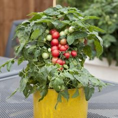 Learn more about Sweet 'n' Neat Cherry Tomato, a compact plant ideal for small containers. It sets fruit in grape-like clusters, and ripens in 48 days.