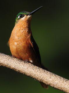 Foto beija-flor-rubi (Clytolaema rubricauda) por Kleber Silveira   Wiki Aves - A Enciclopédia das Aves do Brasil