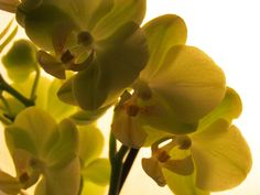 Cluster of green orchids