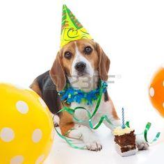 joyeux anniversaire humour: animal chien beagle première célébration de fête d'anniversaire avec le chapeau de gâteau et des ballons Banque d