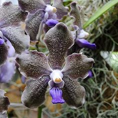 Shade Garden Flowers And Decor Ideas Purple Curly Edged Vanda Orchid Curls Its Way Into Your Heart Strange Flowers, Unusual Flowers, Amazing Flowers, Beautiful Flowers, Vanda Orchids, Rare Orchids, Plante Carnivore, Orchid Show, Miniature Plants