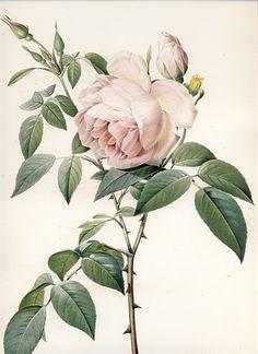 額絵ルドゥーテのバラ > ルドゥーテのバラの絵 > 「香り高き白バラ」大