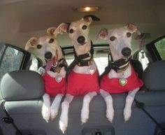 """""""Whippets, Sylvie, Mirabelle and Jack, love to ride in the car. Favorite destination: The park for a rousing game of frisbee. You might notice that they each have a lipstick kiss on the forehead."""""""
