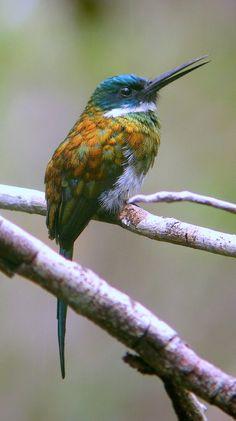 Bronzy Jacamar Hummingbird