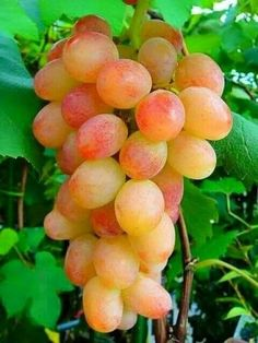 Grapes on vine Fruit Plants, Fruit Garden, Fruit Trees, Fresh Fruits And Vegetables, Fruit And Veg, Fruits Photos, Fruit Photography, Beautiful Fruits, Weird Food
