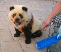 I want one!  Chow Chow panda dog!