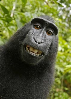 The images in question were taken in 2011 by Naruto, a then–6-year-old male, free-living crested macaque in Indonesia. Photographer David J. Slater had left his camera unattended in an Indonesian forest, which allowed Naruto to take several photos of himself.