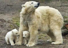 Polar bear Huggies walks with her twin cubs during their first public appearance at the Ouwehands Zoo in Rhenen February Ouwehands Zoo is one of the two zoos participating in a special breeding program for endangered polar bears. Animal Pictures, Cute Pictures, Bear Gallery, Baby Polar Bears, Teddy Bears, Love Bear, Cute Funny Animals, Brown Bear, Mammals