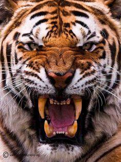 23 Gambar Macan Kemayoran Terbaik Binatang Buas Binatang