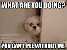Pee a boo Shih Tzu ... I see you!