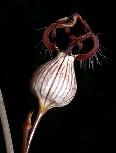 images about Ceropegia on Unusual Flowers, Rare Flowers, Amazing Flowers, Beautiful Flowers, Weird Plants, Unusual Plants, Exotic Plants, Gothic Garden, Rare Orchids
