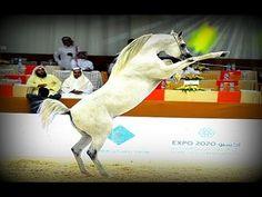 بطولة دبي الدولية للحصان العربي 2017 - حصان الامارات العربية المتحدة
