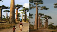 Avenue of Baobabs Wallpaper