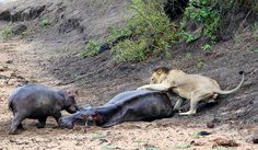 Lion attacking hippo stuck in the mud in the Kruger National Park Kruger National Park, National Parks, Cool Pictures, Cool Photos, Stuck In The Mud, Cat Activity, Male Lion, Most Beautiful Animals, Rare Animals
