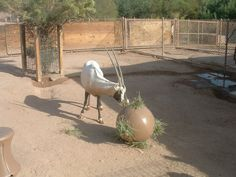 Image detail for -The Phoenix Zoo: Learn: Animals: Behavioral Enrichment