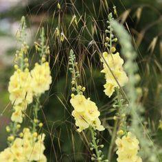 Buy Stipa & Verbascum plant combination Stipa and Verbascum plant combination: £44.94 Delivery by Crocus