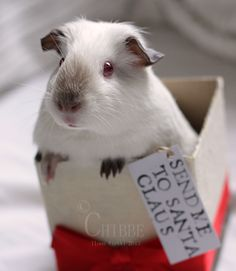 Never had a guinea-pig that looks like this before. The colourpoints are so cute! Animals And Pets, Baby Animals, Funny Animals, Cute Animals, Baby Guinea Pigs, Guinea Pig Care, Baby Pig, Wombat, Guniea Pig