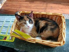 Meet Truffles, an adoptable Calico looking for a forever home. Available at Vicky's Pet Connection, Ada,MI.