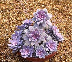 Graptopetalum Pentandrum var. superbum