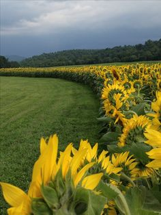 Sunflower fields at Biltmore Estate. Where Karl proposed!!! <333333