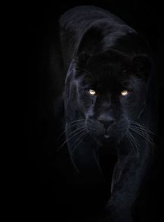 A black panther is typically a melanistic color variant of any Panthera species. Black panthers in Asia and Africa are leopards (Panthera pardus). Black panthers in the Americas are black jaguars (Panthera onca). Black Animals, Animals And Pets, Cute Animals, Puma Animal Black, Wild Animals, Black Jaguar Animal, Black Puma, Jaguar Noir, Beautiful Cats