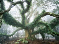Largest known Myrtle Tree in the World Lámina fotográfica