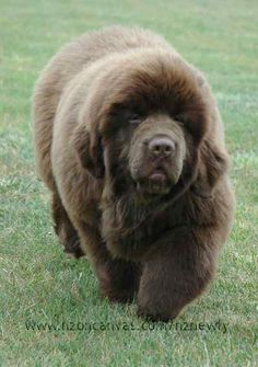 my hubby says no... can you believe it       newfoundland dog | Newfoundland dog pics