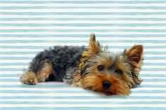 Yorkie Lifespan: How Long do Yorkies Live? 12 things to do in order to extend your Yorkshire terrier life expectancy. And how you're shortening the lifespan of Yorkies without even knowing. Most Popular Dog Breeds, Best Dog Breeds, Small Dog Breeds, Yorkshire Terrier Dog, Yorkie Puppy, Puppy Care, Dog Birthday, Birthday Cake, Old Dogs