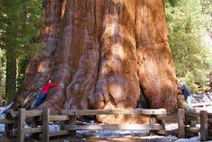 "Sherman tábornok fája, a wikipedia szerint ""Largest living organism in the world"""