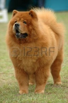A beautiful red Chow Chow