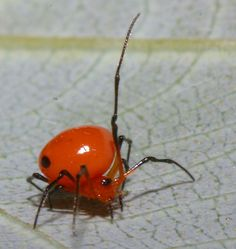 tiny orange spider with leg aloft   (click here to open a new window with this photo in computer wallpaper format)