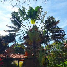Esta palmeira viajan