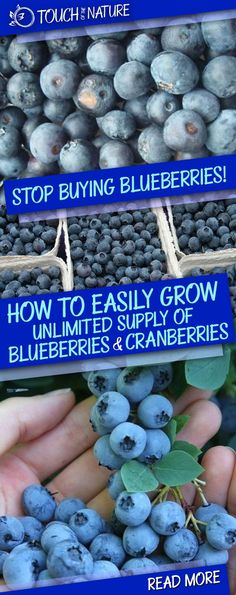Stop Buying Blueberries! This Is How To Easily Grow An Unlimited Supply Of Blueberries And Cranberries In Your Own Home!