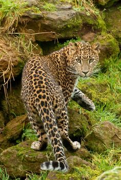 Amur leopard - endangered species, it is estimated that there only 40 Amur Leopards in the wild