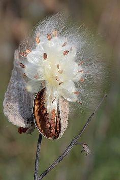 Milkweed pod seeds
