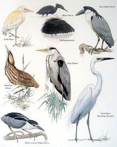 Aves  americana de garcilla bueyera Garza negra avetoro