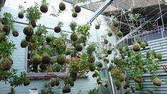 Hanging baskets ... who needs  em? Get a load of Fedor van der Valk s  string gardens,  suspended, pot-less plant arrangements that defy easy description (and not to mention gravity).