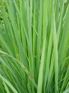 Lemongrass can be used as a border plant, cut for fragrant mulch, medicinal herb teas, as a culinary herb in the kitchen and is easily propagated to make new plants you can grow, swap or sell.