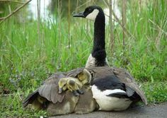 phototoartguy:    Canada goose protects her young