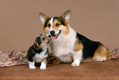 Pembroke Welsh Corgi Mother And Her Puppy