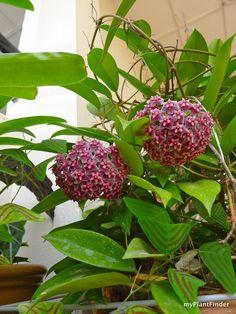 hoya plant | MY PLANT FINDER | Plant Guide