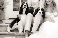 Springer Spaniels...make a beautiful wedding even more so
