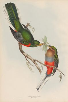 Hand-coloured lithographic plates of Trogon bird species from the 1830s by John Gould.Trogon narina (Narina Trogon)