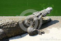 Crocodiles in the crocodile farm in Bangkok