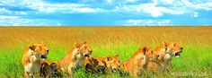 pride of lions resting in green grassland Savannah african wildlife  holiday tourist location facebook timeline profile cover.