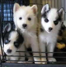Mini huskies are thee cutest dogs ever!!♥♥♥ I can't wait to have one one day!