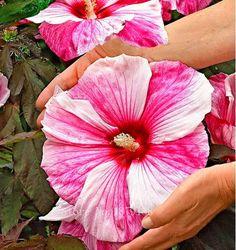 50 Flower seeds   Rose mallow Seeds home Garden Flower Medicinal Plant Quality   AA