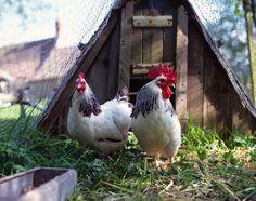 The dark side of chicken farming
